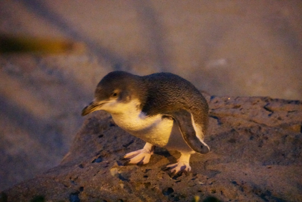Kleiner blauer Pinguine